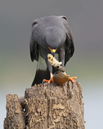 bird eating raptors: A male Snail Kite (Rostrhamus sociabilis) removes an apple snail from its shell - Gamboa, Panama