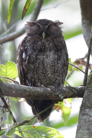megascops: Choco Screech Owl (Megascops centralis) sleeping in the rainforest - Gamboa, Panama Stock Photo