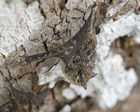 naso: Proboscis Bat (Rhynchonycteris naso) roosting on a tree trunk - Gamboa, Panama
