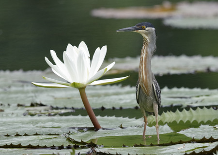 striated: Striated Heron (Butorides striata) standing next to a blooming water lily - Chagres River,