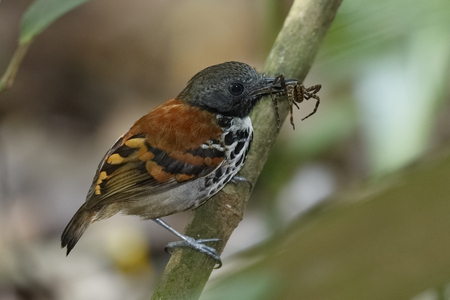 A Spotted Antbird (Hylophylax naevioides) catches a spider stirred up by a swarm of army ants - Gamboa Rainforest, Panama