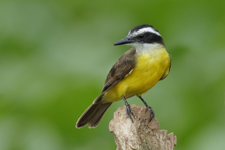 lesser: Lesser Kiskadee (Pitangus lictor) perched on a stump over the water - Chagres River, Panama Stock Photo