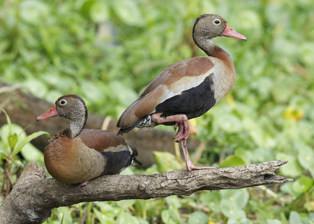 whistling: Pair of Black-bellied Whistling ducks (Dendrocygna autumnalis) on a tree branch - Chagres River, Panama Stock Photo