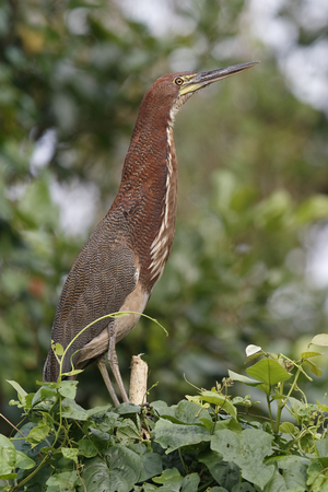 lineatum: Adult Rufescent Tiger Heron (Tigrisoma lineatum) perched in a tree at the edge of the Chagres River - Panama