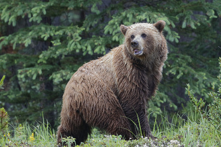 the mainland: Mainland Grizzly Bear (Ursus arctos horribilis) in a light rain - Jasper National Park, Alberta, Canada