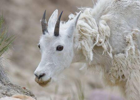 jasper: Closeup of a Mountain Goat (Oreamnos americanus) shedding its winter coat - Jasper National Park, Alberta, Canada