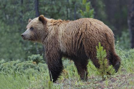 arctos: Mainland Grizzly Bear (Ursus arctos horribilis) in a light rain - Jasper National Park, Alberta, Canada