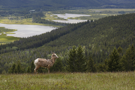 borrego cimarron: Rocky Mountain Bighorn Sheep Ram (Ovis canadensis) in a meadow overlooking the Bow River Valley - Banff National Park, Alberta, Canada