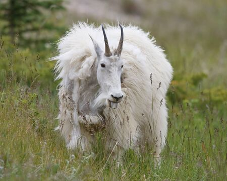 browses: A Mountain Goat (Oreamnos americanus) shedding its winter coat browses in an alpine meadow in late spring- Jasper National Park, Alberta, Canada Stock Photo