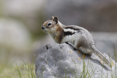 sitting on the ground: Golden-mantled Ground Squirrel (Callospermophilus lateralis) sitting on a boulder - Jasper National Park, Alberta, Canada Stock Photo