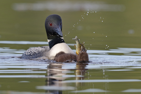 pumpkinseed: A two-week old Common Loon chick (Gavia immer) swallows a pumpkinseed sunfish as its parent looks on - Ontario, Canada
