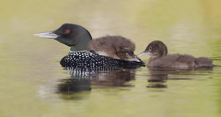 gavia: A three-week old Common Loon chick (Gavia immer) rides on its parents back as its sibling swims along side - Ontario, Canada Stock Photo