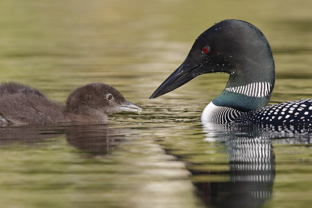 A Common Loon (Gavia immer) feeds a green caterpillar to its chick - Ontario, Canada