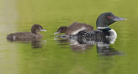 gavia: A three-week old Common Loon chick (Gavia immer) rides on its parents back as its sibling swims behind - Ontario, Canada