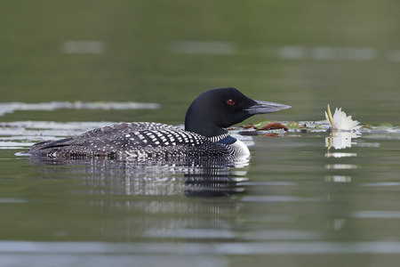 nymphaea odorata: Common Loon (Gavia immer) swimming next to a lily pad - Haliburton, Ontario, Canada Stock Photo