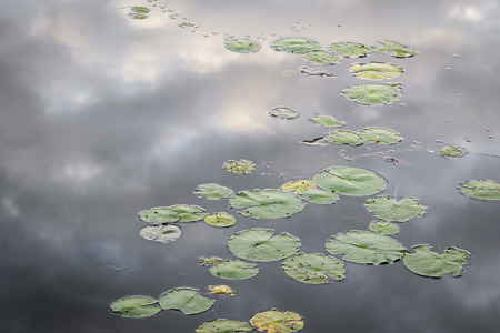 nymphaea odorata: Lily pads growing near the shore of a lake with clouds reflecting on the waters surface - Ontario, Canada Stock Photo