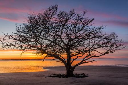 quercus: Live Oak Tree (Quercus virginiana) silhouetted on a barrier island beach at sunset - Jekyll Island, Georgia