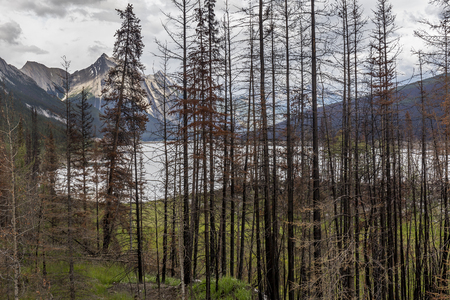 aftermath: Aftermath of a Forest Fire in Jasper National Park - One Year Later
