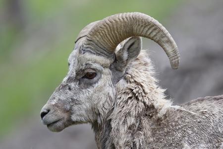 ovis: Closeup of a male Rocky Mountain Bighorn Sheep (Ovis canadensis) - Banff National Park, Alberta, Canada