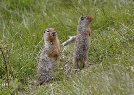 columbian: A pair of Columbian Ground Squirrels (Urocitellus columbianus) scan their surroundings for signs of danger - Banff National Park, Alberta, Canada Stock Photo