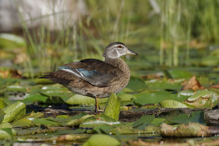 pinery: Wood Duck (Aix sponsa) in eclipse plumage wading through lily pads - Pinery Provincial Park, Ontario, Canada Stock Photo