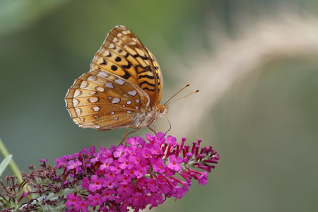 obtaining: Great-spangled Fritillary (Speyeria cybele) obtaining nectar from a butterfly bush - Grand Bend, Ontario, Canada Stock Photo