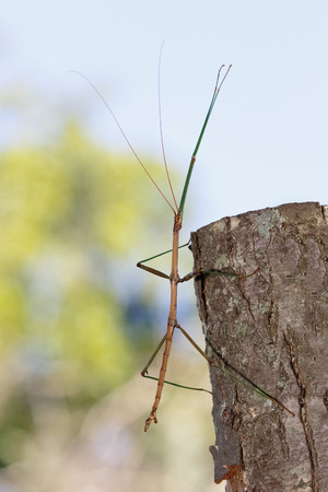 Common Walking Stick (Diapheromera femorata) on a cut-off tree branch - Ontario, Canada