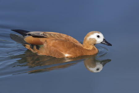 Ruddy Shelduck (Tadorna ferruginea) and its reflection in a pond Stock Photo