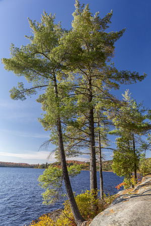 White Pines growing on a rocky lake shoreline in autumn - Algonquin Provincial Park, Ontario, Canada