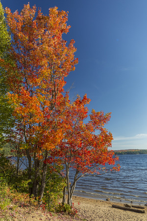 shorelines: Brilliant Sugar Maple growing on the sandy shore of a lake in autumn - Algonquin Provincial Park, Ontario, Canada