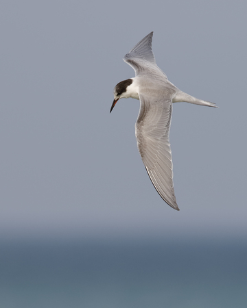 Common Tern (Sterna hirundo) hovering over Lake Huron - Grand Bend, Ontario, Canada