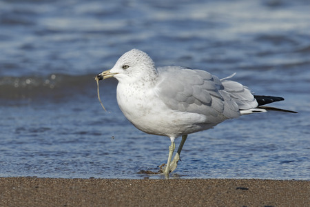 pinery: Adult Ring-billed Gull (Larus delawarensis) in non-breeding plumage eating a worm on a Lake Huron beach - Grand Bend, Ontario, Canada Stock Photo