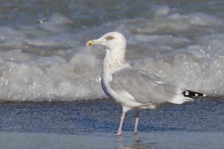 Herring Gull (Larus argentatus) on the shore of Lake Huron - Grand Bend, Ontario, Canada