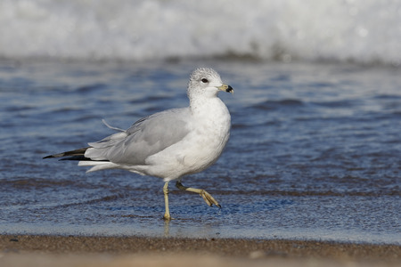 Adult Ring-billed Gull (Larus delawarensis) in non-breeding plumage walking on a Lake Huron beach - Grand Bend, Ontario, Canada