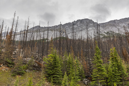 aftermath: Aftermath of a forest fire in the Rocky Mountains - Jasper National Park, Alberta, Canada Stock Photo