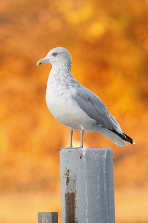 Herring Gull (Larus argentatus) in non-breeding plumage perched on a post with autumn foliage in background - Grand Bend, Ontario, Canada Stok Fotoğraf