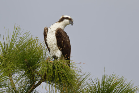 Osprey (Pandion haliaetus) scanning for prey while perched in a pine tree - Melbourne, Florida