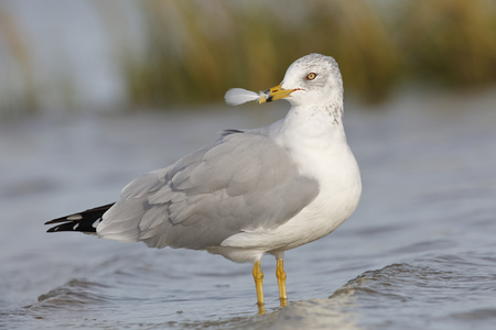 Ring-billed Gull (Larus delawarensis) holding a feather in its beak - St. Petersburg, Florida