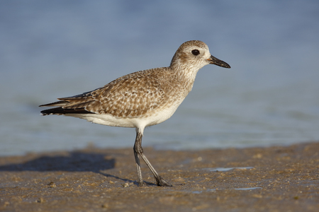 Black-bellied Plover (Pluvialis squatarola) in non-breeding plumage - St. Petersburg, Florida
