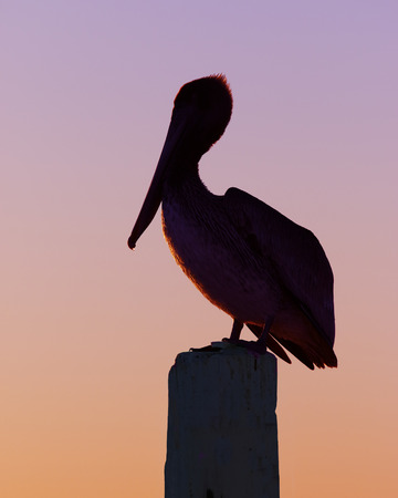 Silhouette of a Brown Pelican (Pelecanus occidentalis) perched on a dock piling at sunset - Cedar Key, Florida
