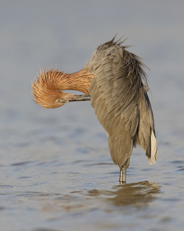 붉은 석양 (Egretta rufescens) 얕은 석호 - 세인트 피터 스 버그, 플로리다에서에서 자사의 깃털을 preening