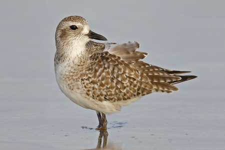Black-bellied Plover (Pluvialis squatarola) wading in shallow water in the Gulf of Mexico - St. Petersburg, Florida
