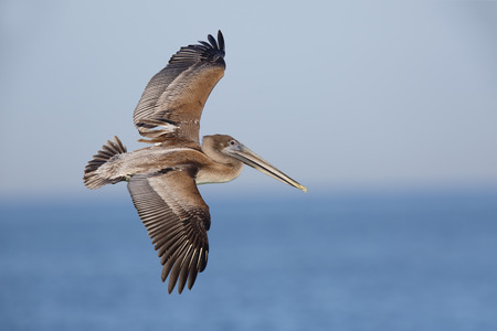 Immature Brown Pelican (Pelecanus occidentalis) in flight over the Gulf of Mexico - St. Petersburg, Florida Imagens