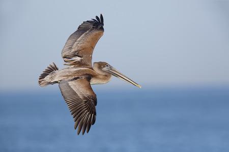 Unreifer Brown-Pelikan (Pelecanus occidentalis) im Flug über dem Golf von Mexiko - St Petersburg, Florida