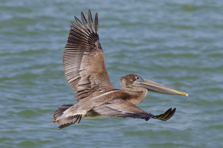 Immature Brown Pelican (Pelecanus occidentalis) in flight over the Gulf of Mexico - St. Petersburg, Florida Stock Photo