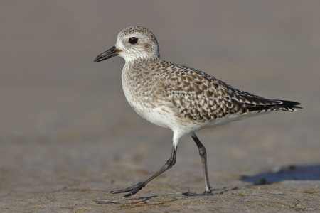 A Black-bellied Plover (Pluvialis squatarola) foraging on a beach in fall - - St. Petersburg