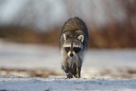 omnivore animal: Raccoon (Procyon lotor) crossing a sandy beach - Fort De Soto Park, St. Petersburg, Florida