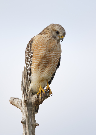 Red-shouldered Hawk (Buteo lineatus) perched in a dead tree - Melbourne, Florida