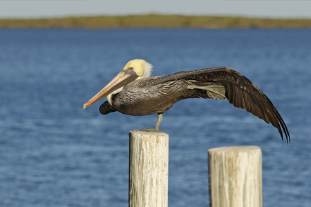 Brown Pelican (Pelecanus occidentalis) perched on a dock piling stretching a wing and leg - Cedar Key, Florida Stock Photo