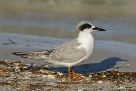 Forsters Tern (Sterna forsteri) in non-breeding plumage resting on a beach - St. Petersburg, Florida